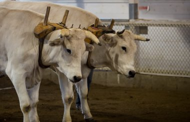 oxen pulling at a fair