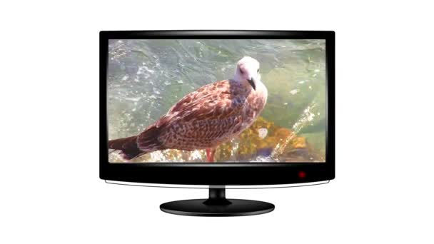 Short clip of a seagull playing on a flat screen monitor