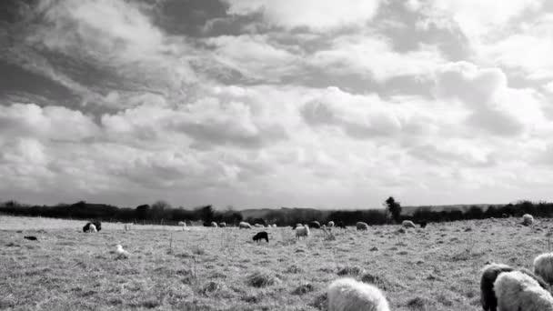 Včasná doba s ovcemi a vlněnou oblohou. Mračné počasí nad stádem černobílých ovcí a jehňat pasoucích se na drsné pastvině. záběry černobílé.