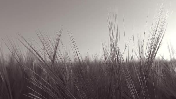 Panoramatický pohyb v pšeničné pole s paprsek skrz pšenice uši - černá a bílá - Full Hd