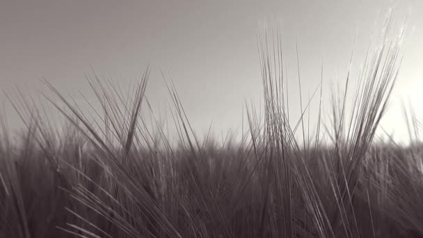 Panoramic move in a wheat field with a sunbeam through wheat ears - Black and White - Full HD