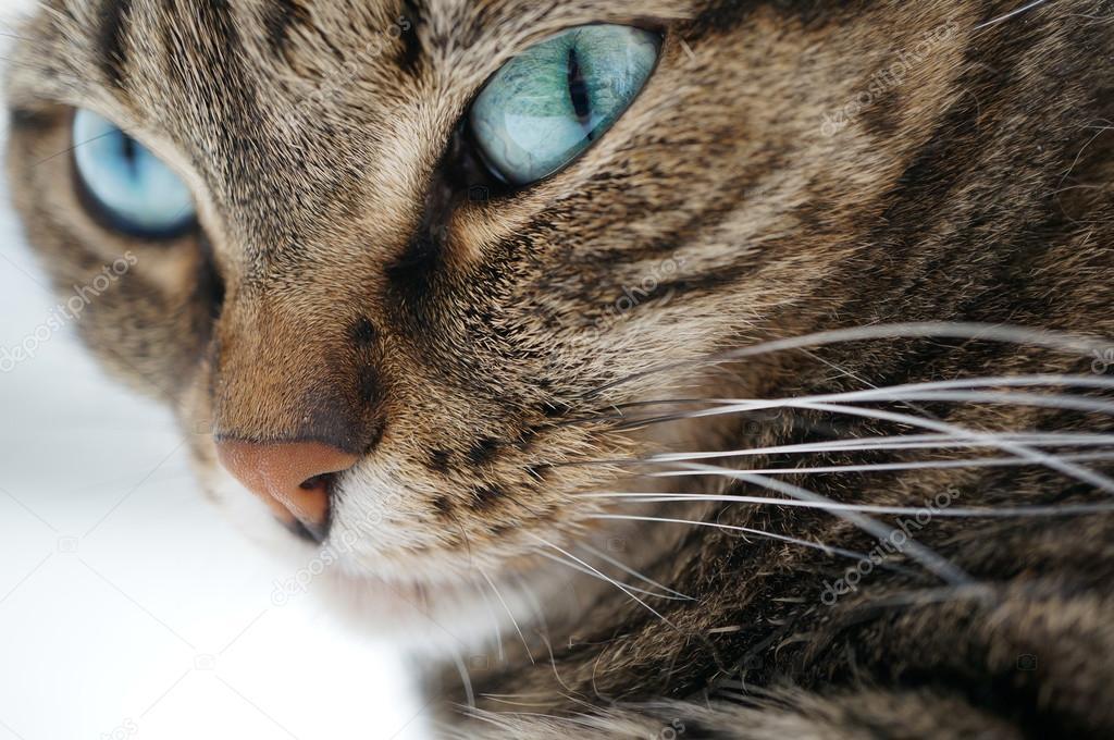 Полосатые коты с голубыми глазами