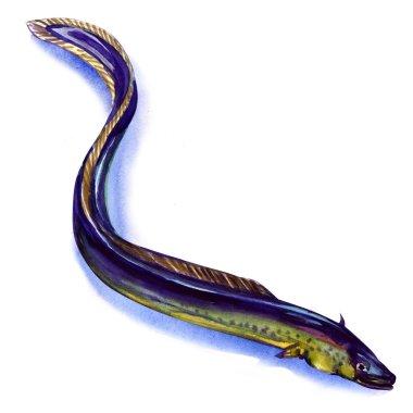 Fresh European eel on white background