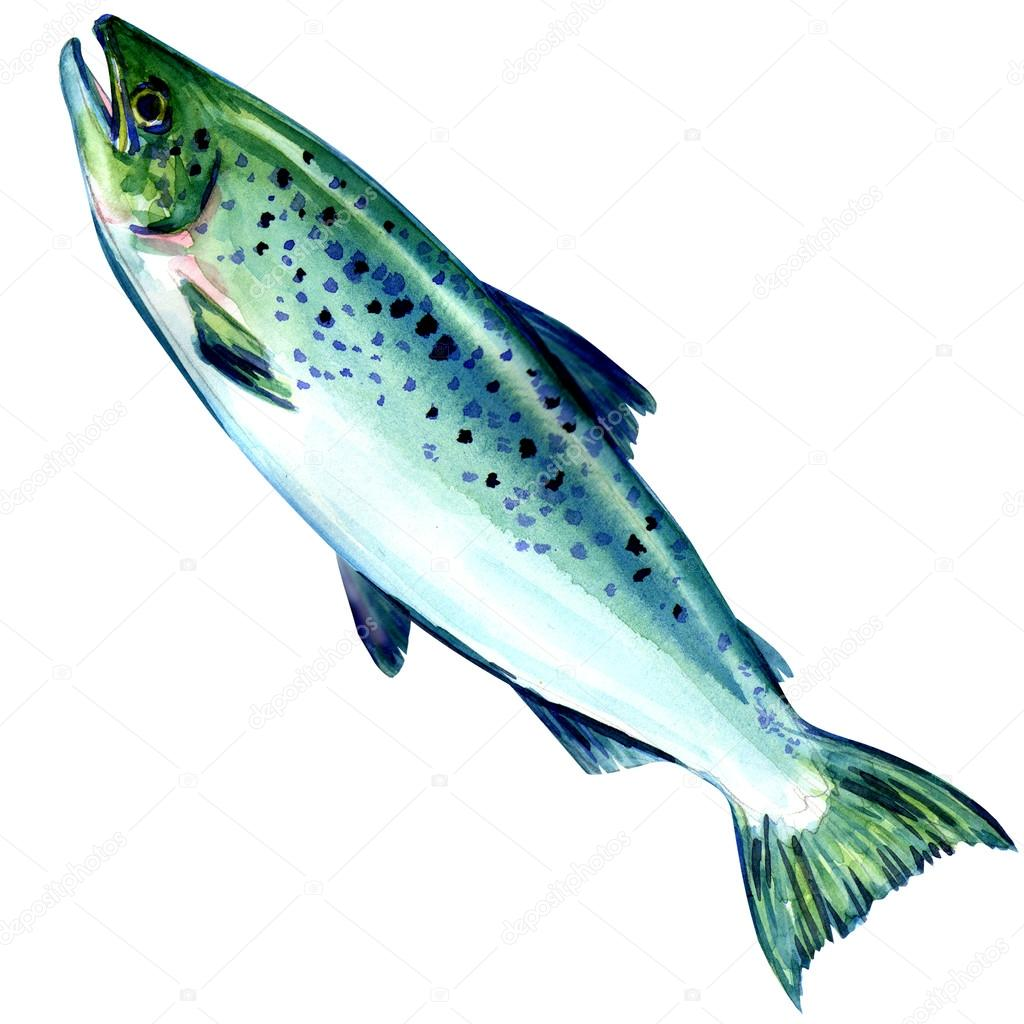atlantic salmon fish on white background