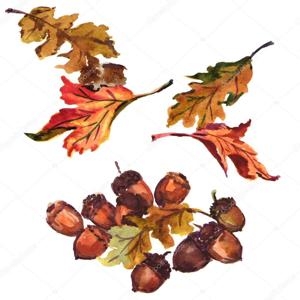 acorn with oak leaves isolated