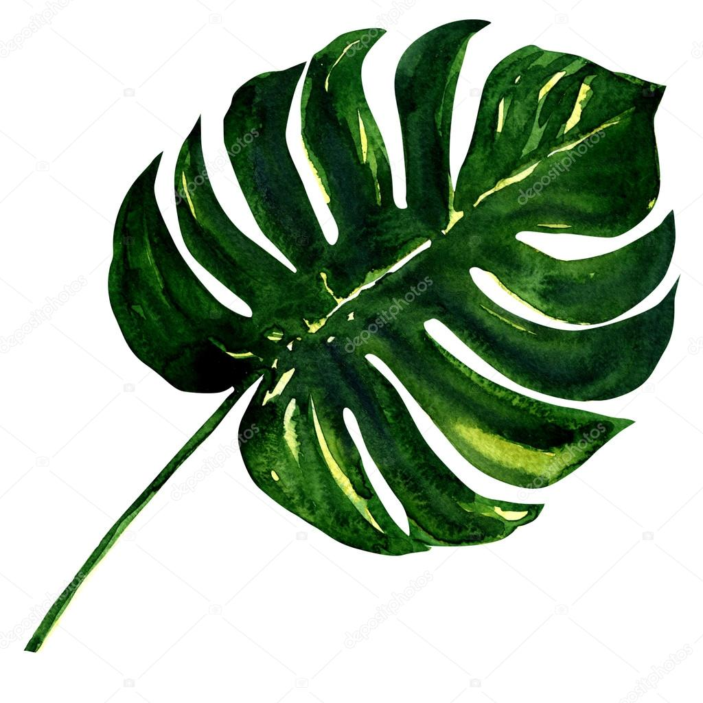big green leaf of monstera plant isolated on white stock photo deslns 59911993. Black Bedroom Furniture Sets. Home Design Ideas