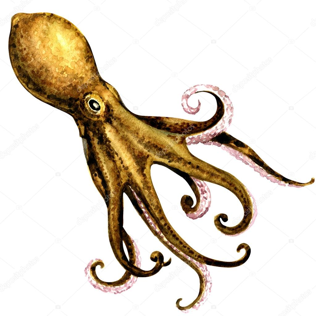 octopus isolated on white background