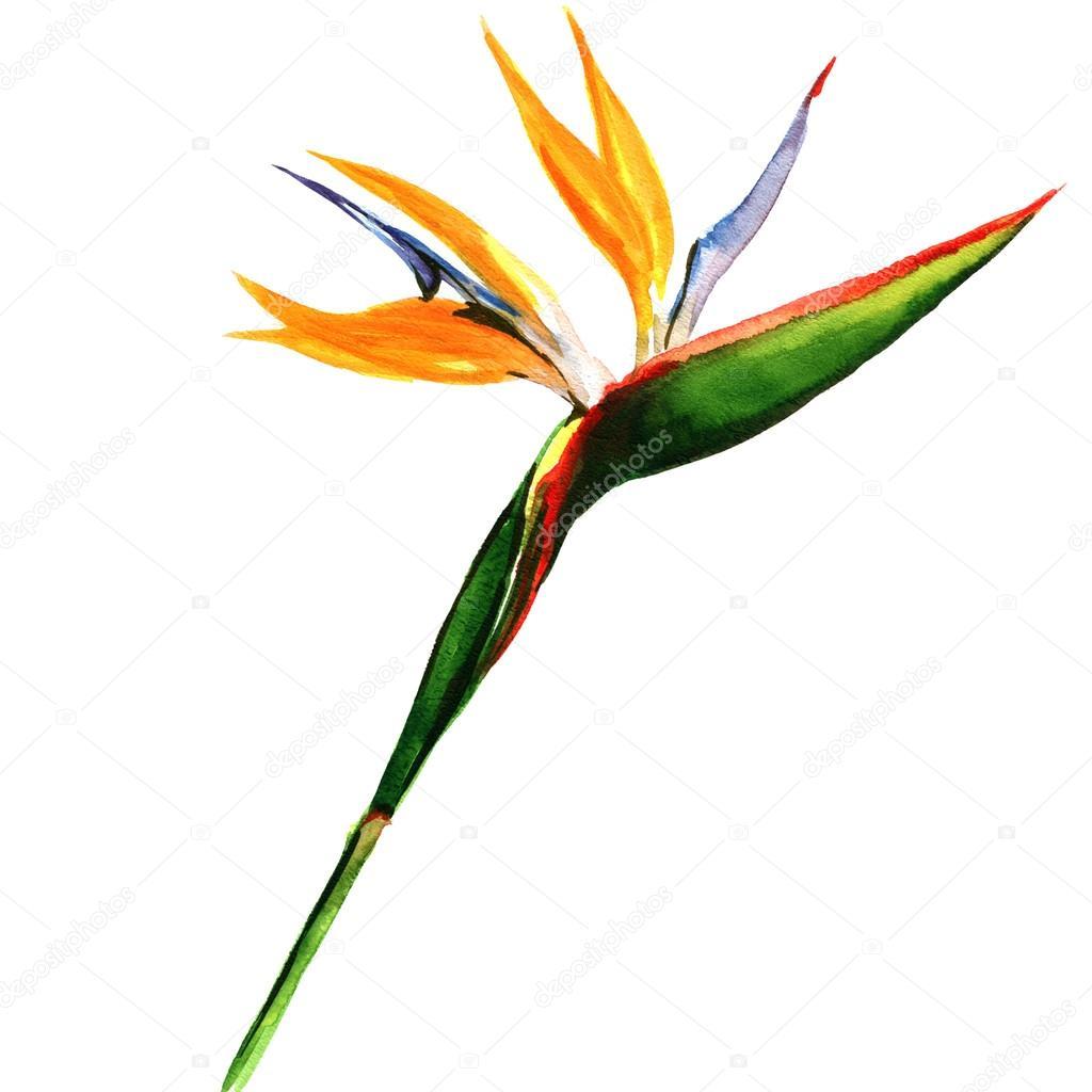 strelitzia, bird of paradise flower isolated, botanical illustration