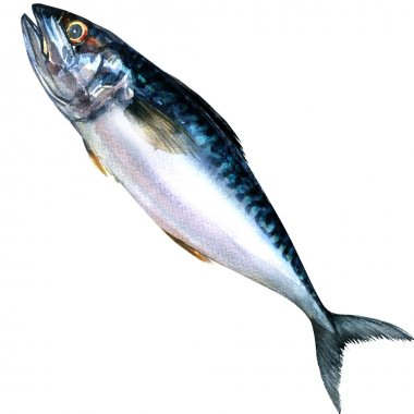 Fresh mackerel fish isolated, watercolor painting