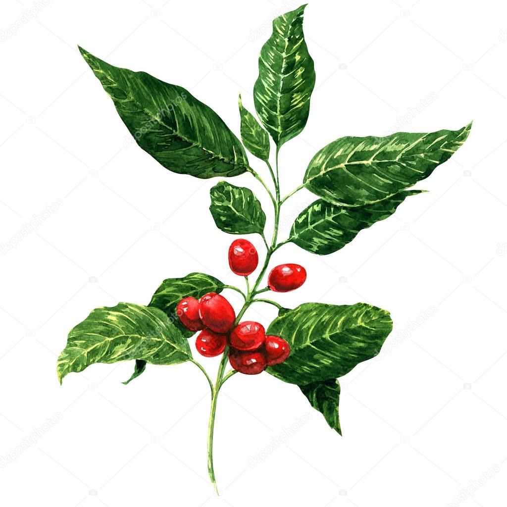 Red coffee beans on branch, isolated, white background