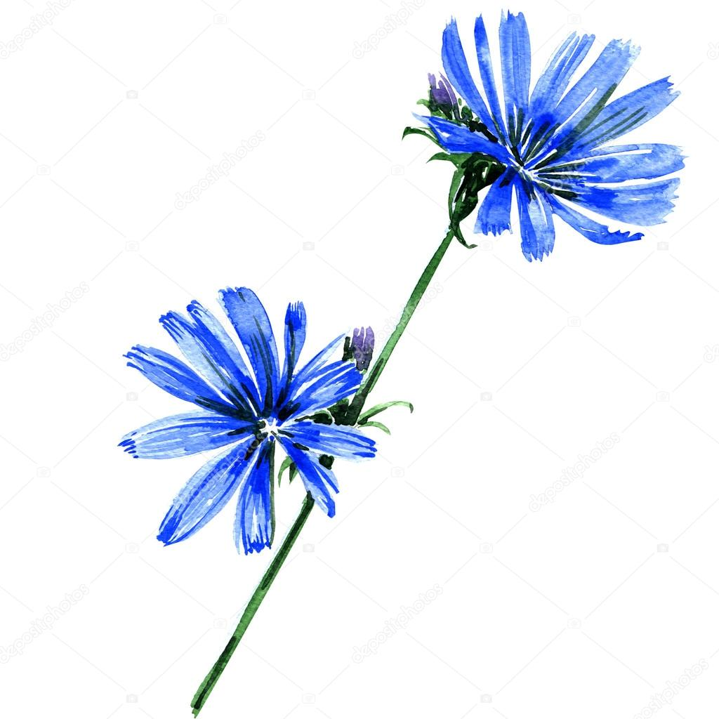 Blue chicory flowers isolated on white background