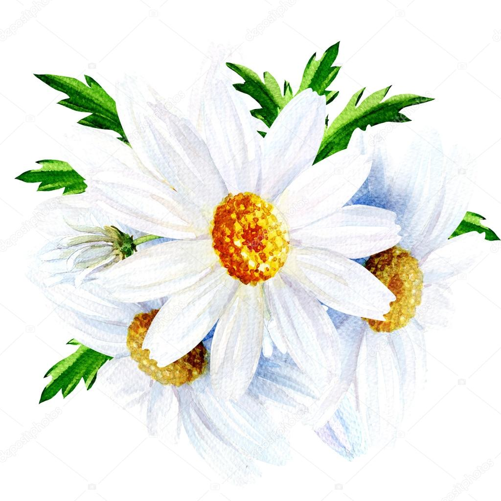 Chamomile flower with leaves isolated on a white background