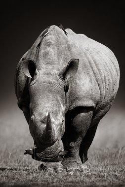 White Rhinoceros  in due-tone