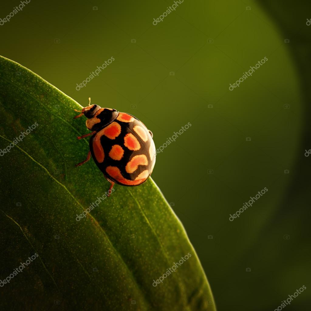 ladybug  perched on green leaf