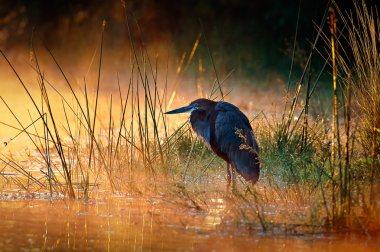 Goliath heron with sunrise over misty river