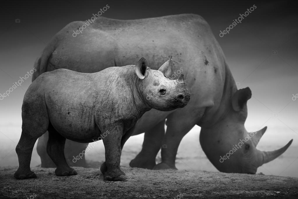 Black Rhinoceros calf and cow