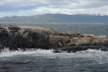 South American sea lion,