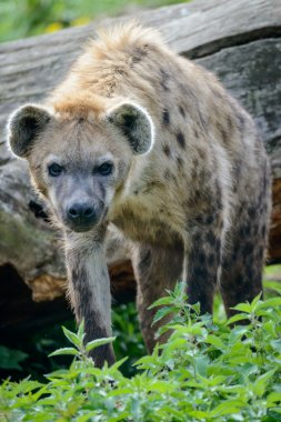 Portrait of spotted hyena