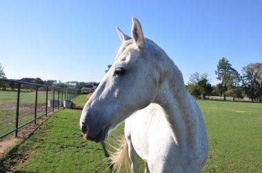 white speckled horse profile