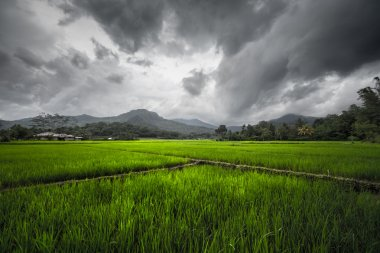 Rice fields, Indonesia