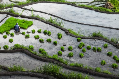 Man planting green rice roots