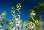 Fotografie Apple blossoms with green leaves