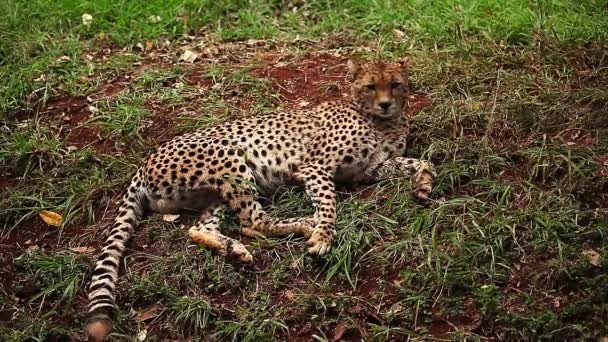 Young leopard laying on the ground