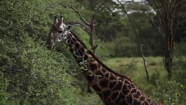 Giraffe grazing in the savannah