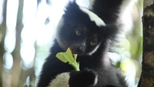 Indri lemur on the tree