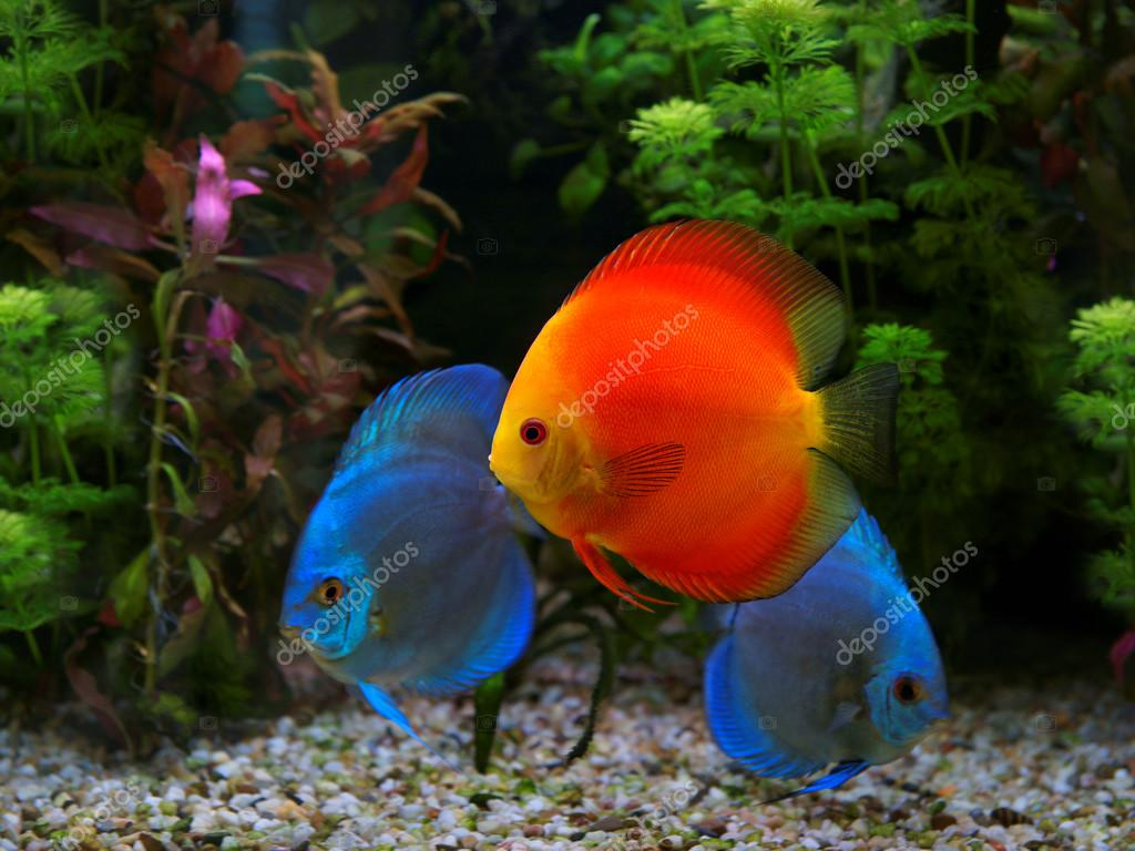 Discus (Symphysodon), multi-colored cichlid in the aquarium, the ...