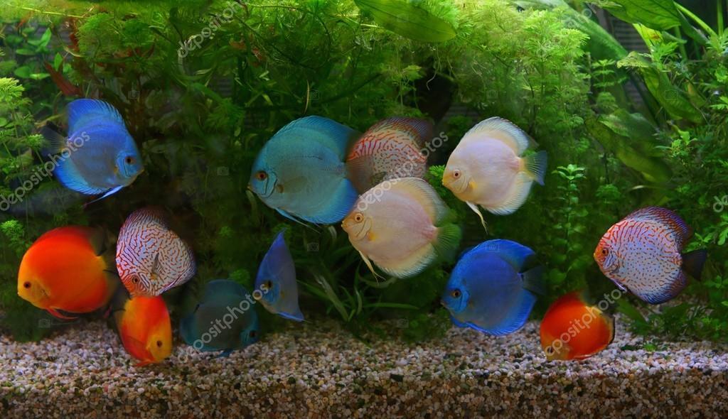 Discus Symphysodon Multi Colored Cichlids In The Aquarium The