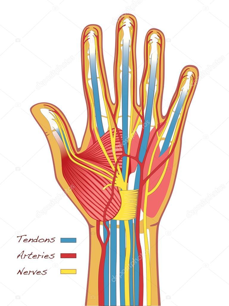 Anatomía de las manos humanas — Vector de stock © studio #66117099