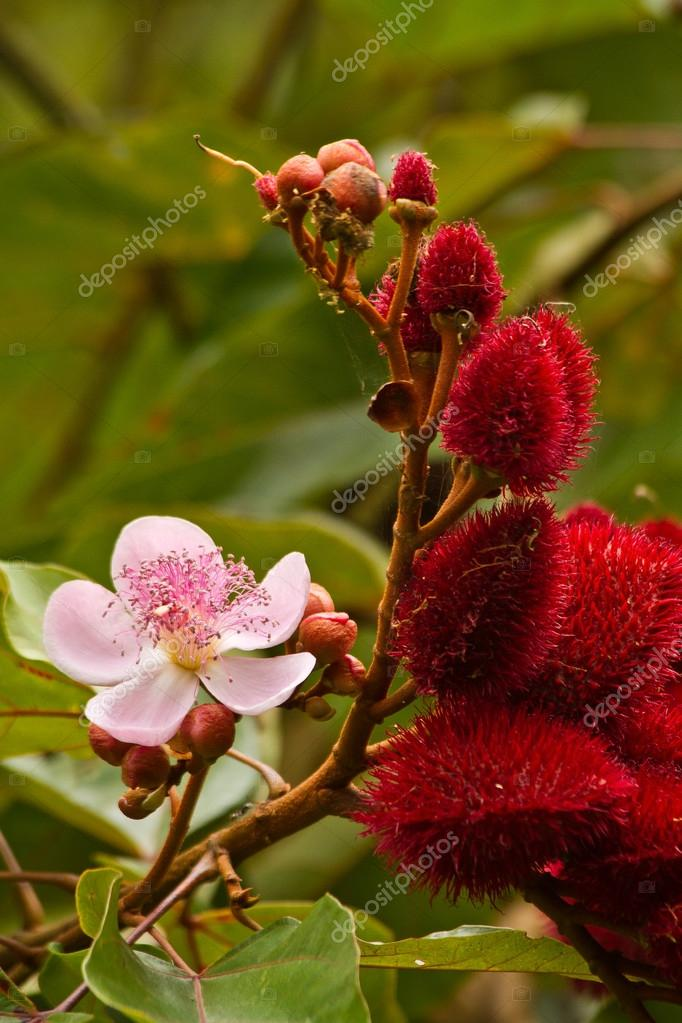 Annato, lipstick tree in the amazon rainforest, Yasuni National Park, Ecuador