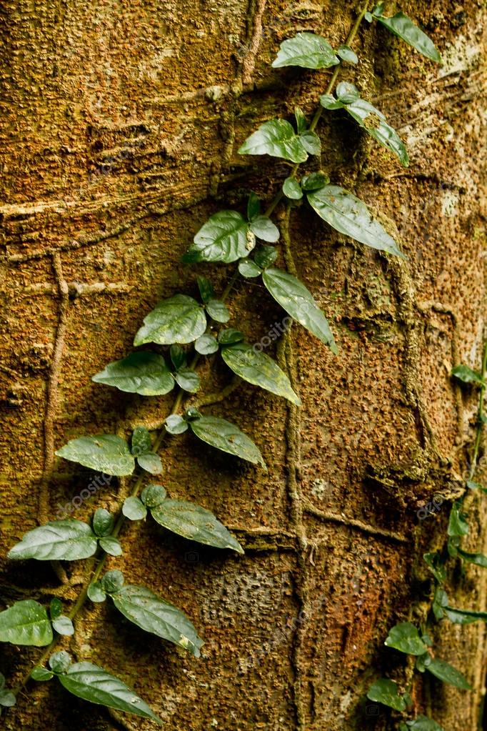 Creeper plant growing around tree, amazon rainforest, Yasuni National Park, Ecuador