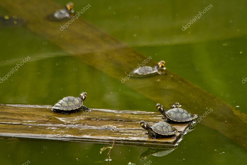 Turtles in amazon rainforest, Yasuni National Park, Ecuador