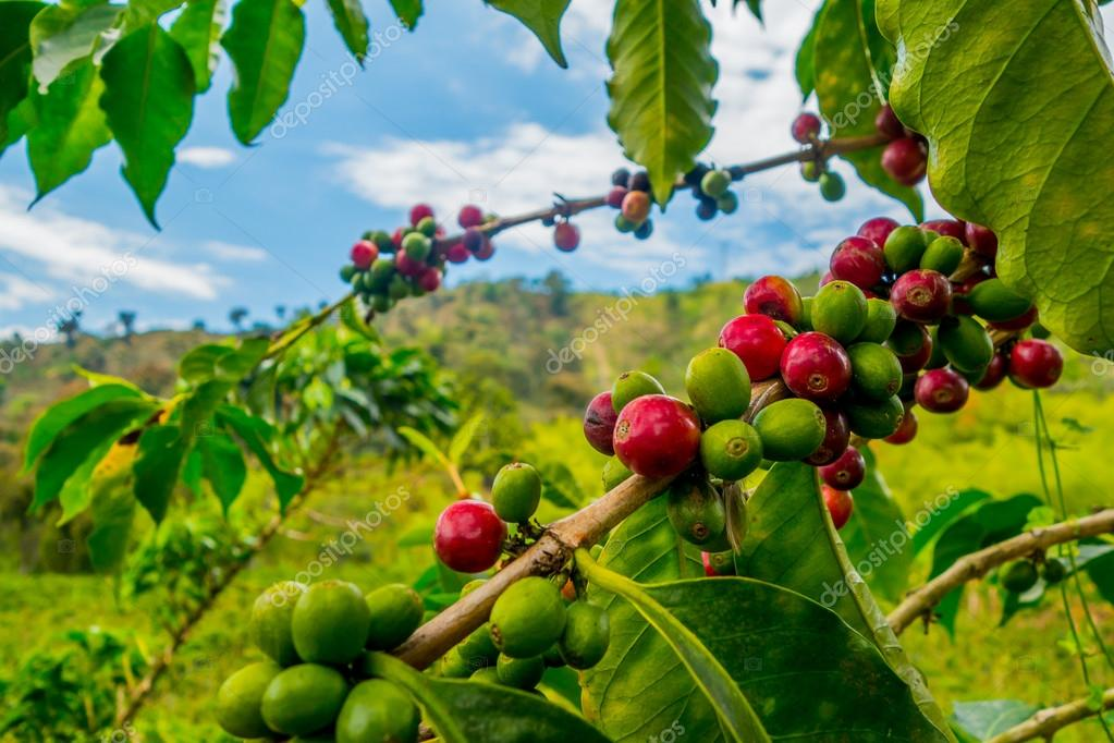 Coffee farm in Manizales, Colombia