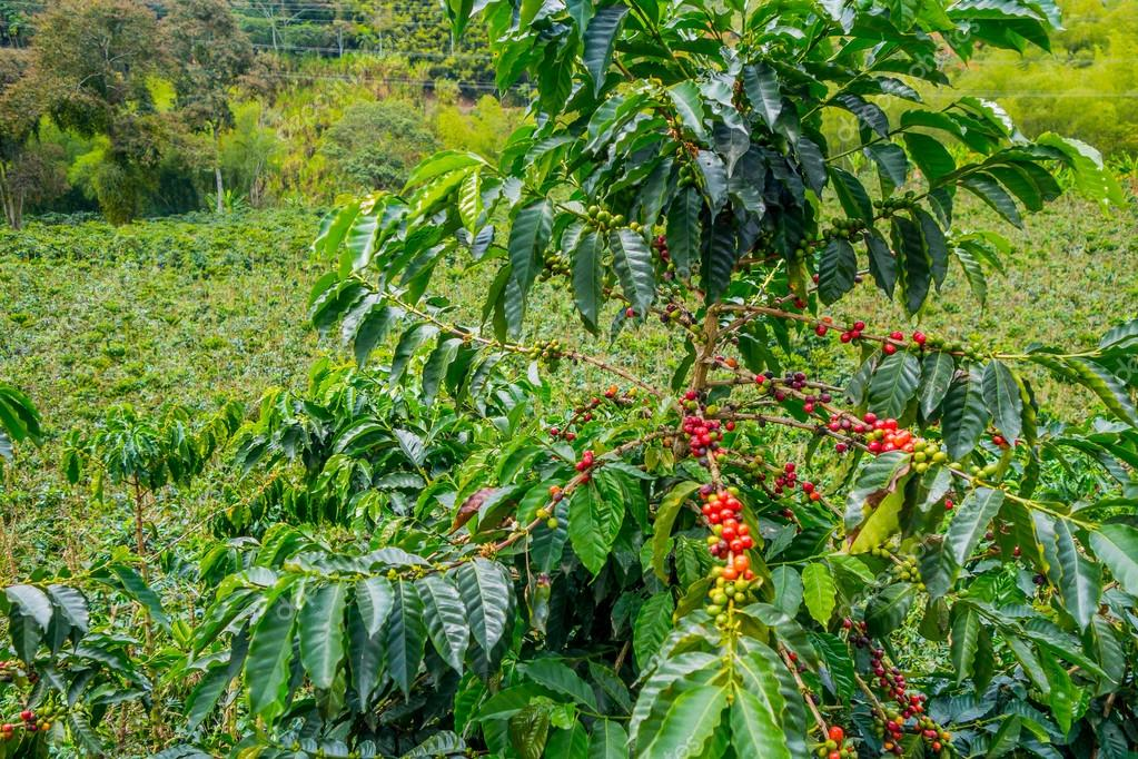 Coffee farm in Manizales, Colombia