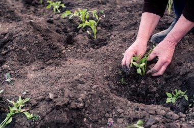 Women's hands transplanted seedlings