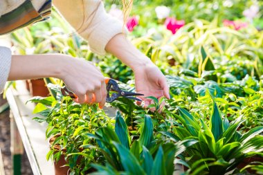 Hands of woman gardener trimming plants with pruning shears
