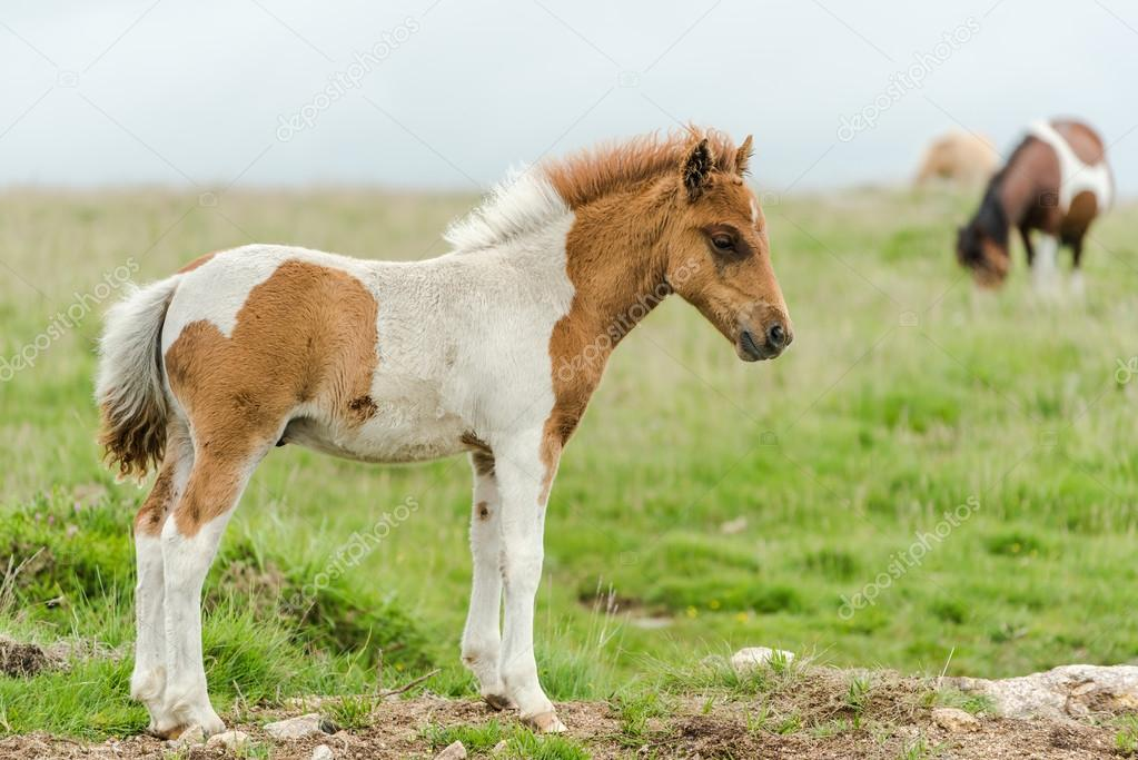 young baby miniature pony horse