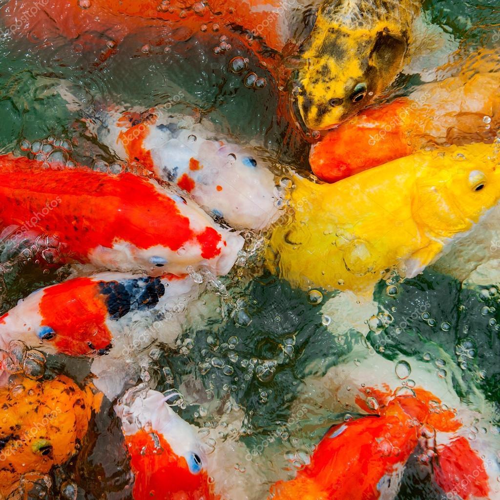 Colorful Koi carp