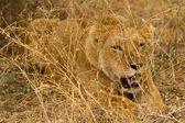 Resting lioness  at Lake Manyara National Park