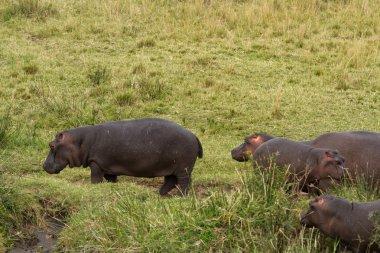 Hippos  in Maasai Mara National Reserve