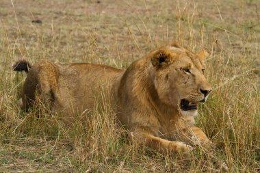 Lion in Maasai Mara National Reserve