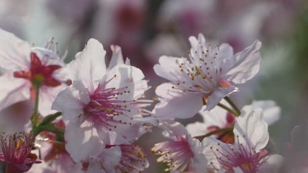 Sakura. Třešňový květ v Tchaj-wanu. Krásné růžové květy