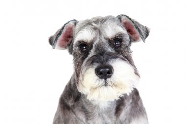 The Miniature schnauzer isolated with white background