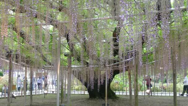 krásný jarní květy série, wistárie keři v zahradě