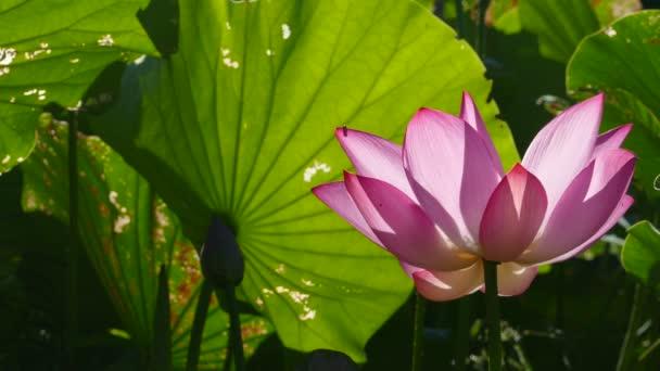 Růžový lotos s pěkné zelené listy barvu pozadí