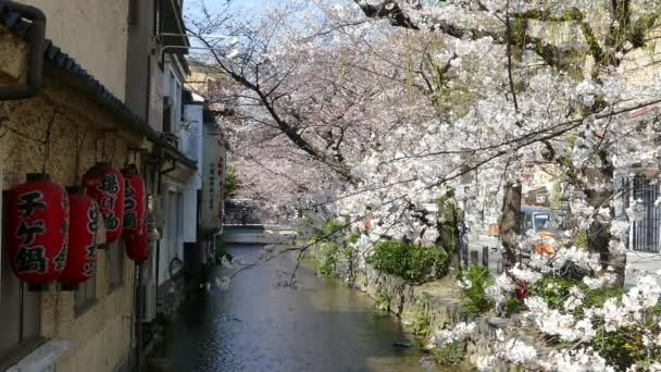 Kjóto, Japonsko - 28 března 2015: Třešňový květ na břehu řeky v Kjótu