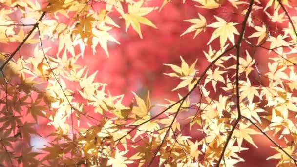červený list podzimní slunce javor rozmazané pozadí